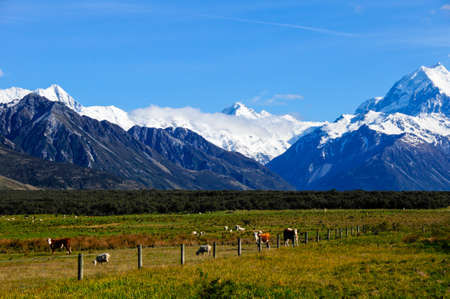 cattle wire wire: Cows and sheep grazing with Mt. Cook in the background. South Island, New Zealand Stock Photo