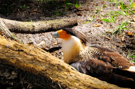 Portrait of a Crested Caracara Stock Photo