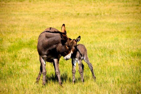 burro: A mother and baby burro at Custer State Park, South Dakota