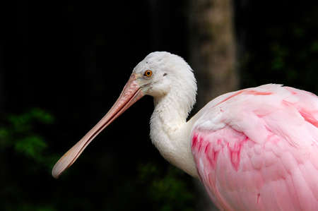 Profile of a Pink Roseate Spoonbill in Florida.