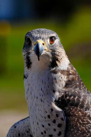 Portraid of a hybrid Gyr Peregrine Falcon.