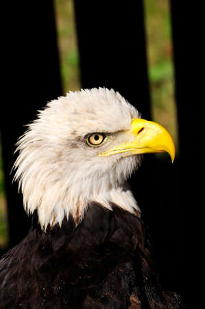 Portrait of an American Bald Eagle.