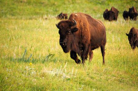American buffalo in a grassy field. Stock Photo