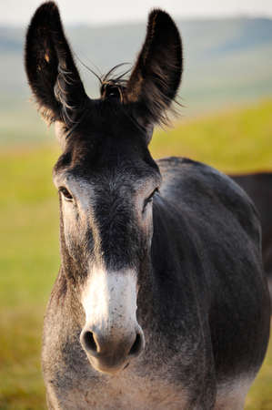 Portrait of a Burro