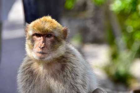 barbary ape: Portrait of a Barbary Ape at Gibraltar. Stock Photo