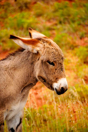 Portrait of a young burro. Stock Photo