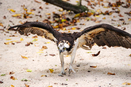 A Osprey walking on the sand with wings spread.