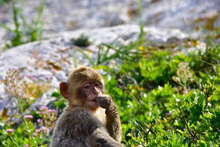 barbary ape: Portrait of a infant Barbary Ape.