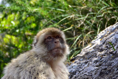 barbary ape: Close up of a Barbary Ape.