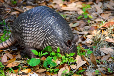 Negen Banded Armadillo in Florida.