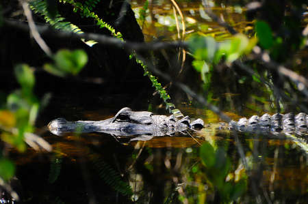 An American Alligator floating in the swamp.