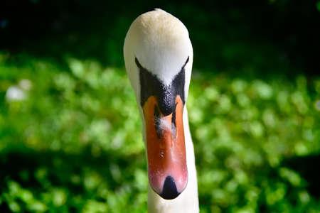 Portrait of a Mute Swan.