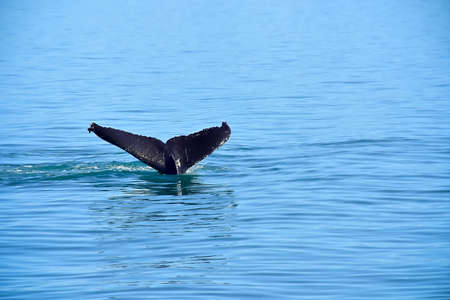A Whale Tail on a whale watching trip in Juneau, Alaska. Stock Photo