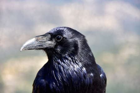 Portrait of a raven.