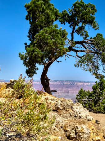 A lone tree at the south rim of the Grand Canyon.