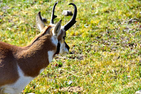 Closeup of a Antelope, or Pronghorn, at Yellowstone National Park.