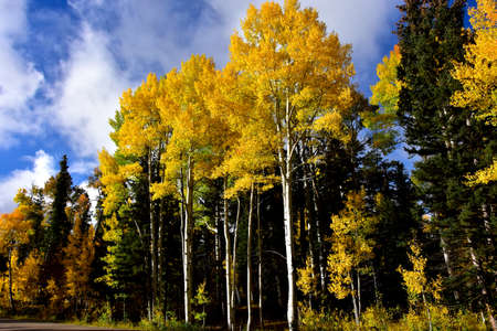 Aspens in fall colors, from the north rim of the Grand Canyon, northern Airzona.