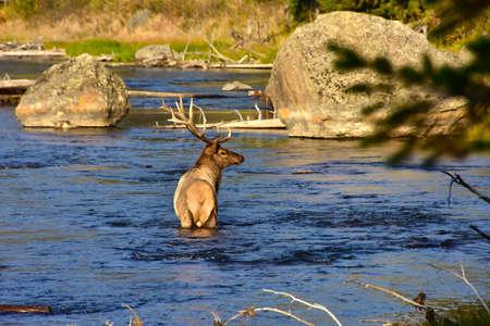 A single bull Elk crosses the Madison River in Yellowstone National Park. Imagens