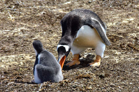 An adult Gentoo Penguin and a chick at Volunteer Point, Falkland Islands.
