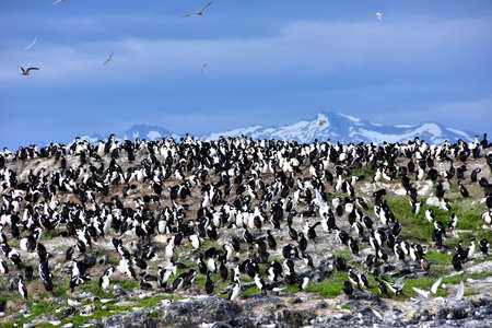 A rookery of Imperial Cororants in the Beagle Channel near Ushuaia, Argentina