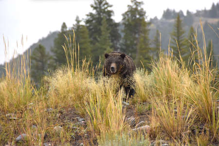 Female Grizzly Bear on a wet day in Yellowstone National Park. Imagens