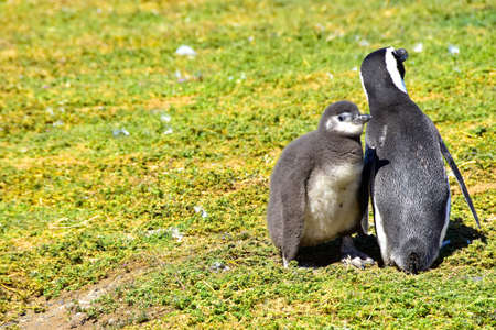 A young Magellanic Penguin and an adult on Magdalena Island, Chile.