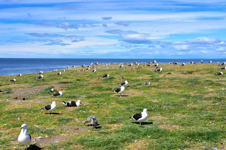 Adult Kelp Gulls and chicks at the rookery on Magdalena Island, Chile.
