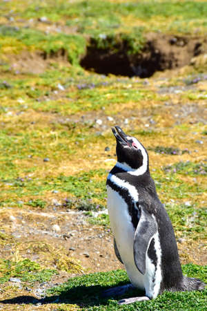 A Magellanic Penguin looking up at the sky on Magdalena Island, Chile.