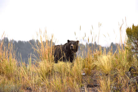 A grizzly bear sow on a wet day at Yellowstone National Park.