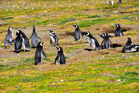 A colony of Magellanic Penguins on Magdalena Island near Punta Arenas, Chile.
