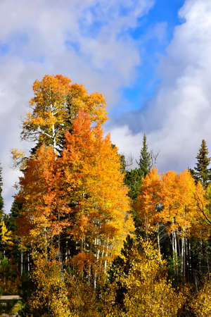 Aspens turning in fall at the North Rim of the Grand Canyon.