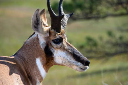 Profile of an Antelope at Custer State Park, South Dakota. Imagens