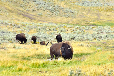 A herd of buffalo in Yellowstone National Park. Imagens