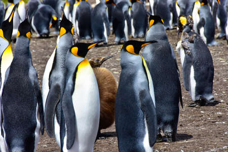 A colony of King Penguins and a chick, and a young adult molting. Falkland Islands.