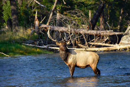 Bull Elk standing in the Madison River at Yellowstone National Park.