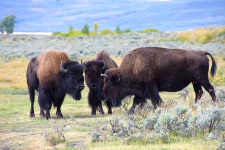 Three Buffalo having a conversation at Yellowstone National Park.