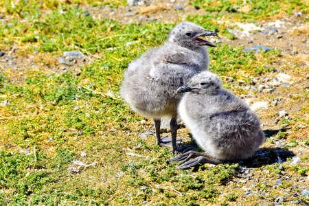 Two Kelp Gull Chicks on Magdalena Island, near Punta Arenas, Chile.