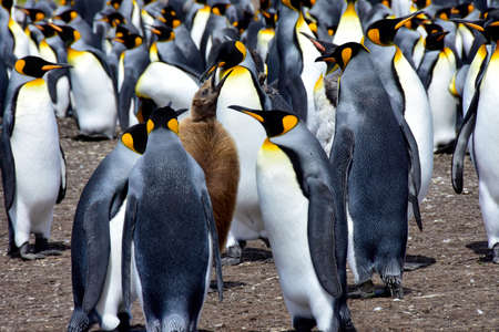 A colony of King Penguins and a chick at Volunteer Point, Falkland Islands.