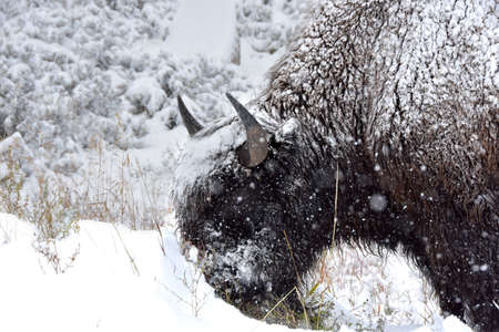 Male buffalo covered in snow at Yellowstone National Park. Imagens