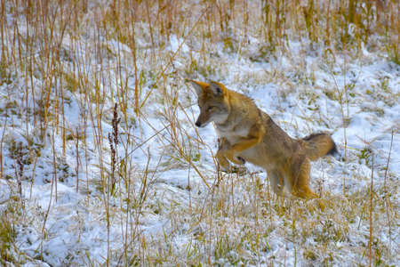 Coyote pouncing on his prey in the snow at Yellowstone National Park. Imagens