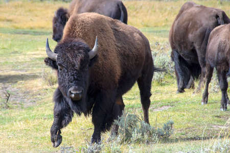 Male Buffalo in the Lamar Valley, Yellowstone National Park. Imagens