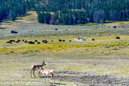 Antelope and Buffalo in the Lamar Valley, Yellowstone National Park. Imagens