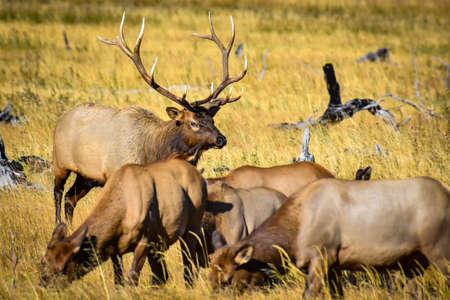 A bull elk in a field with his females, Yellowstone National Park. Imagens
