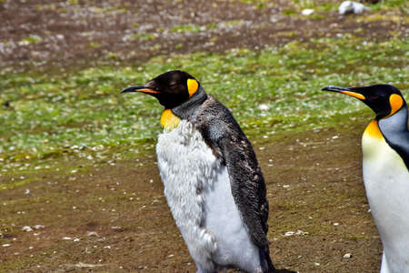 A molting Juvenile King Penguin is out for a walk with an adult, at Volunteer Point, Falkland Islands.