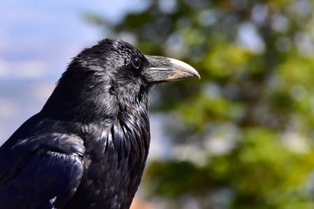 Profile of a Raven at Bryce Canyon National Park. Imagens