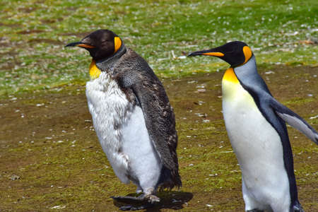 Two King Penguins─one Juvenile and one adult─out for a walk at Volunteer Point, Falkland Islands.