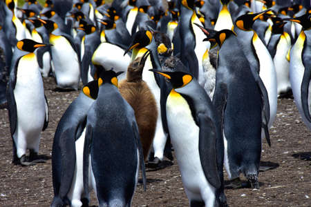 A colony of King Penguins and a fluffy brown chick at Volunteer Point, Falkland Islands. Imagens