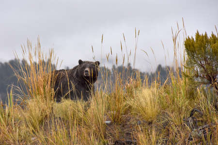 A wet grizzly bear in Yellowstone National Park.