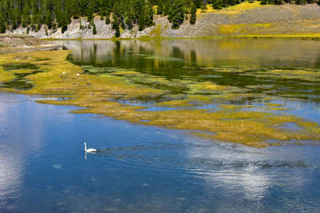 Swans in Yellowstone River, Yellowstone National Park. Imagens