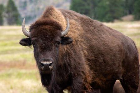 Portrait of a Buffalo in Custer State Park, South Dakota. Imagens